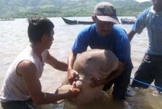 Duyung Berjenis Betina Ikan Duyung Tersebut Ditangkap Heri